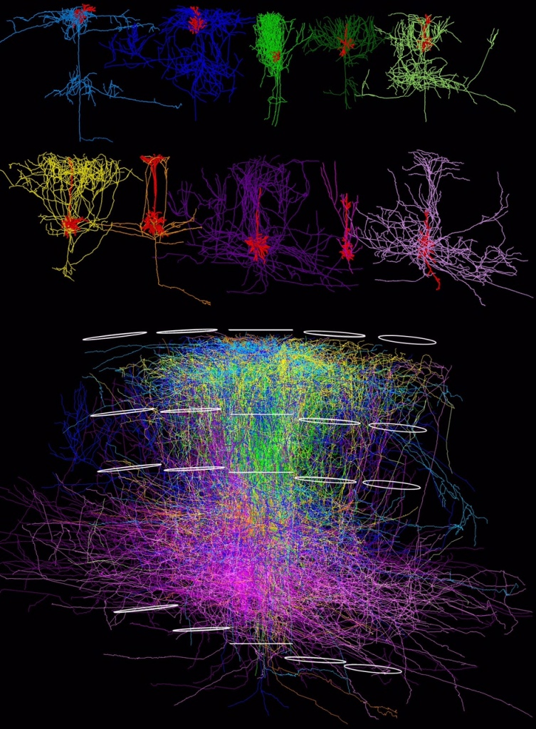 3D reconstruction of individual cortical neurons in rats; Oberlaender