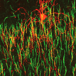 Distinct wiring mode found in chandelier cells