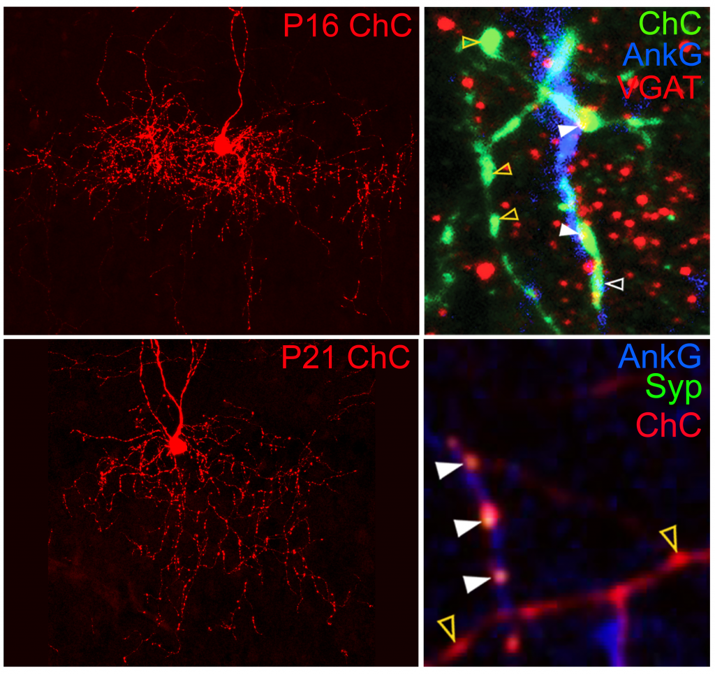 Genetic labeling of IN progenitors allows examination of developmental processes of axonal arbors and synaptic connections formed by murine chandelier cells (ChCs), which innervate axon initial segments (AISs) of PNs and thus powerfully regulate their spike generation. Quantitative analysis by light microscopy revealed that ChCs overgrow and subsequently refine axonal branches as well as varicosities. Although a significant number of axonal varicosities are formed off AISs in addition to on AISs, presynaptic markers are predominantly colocalized with those on AISs throughout development.